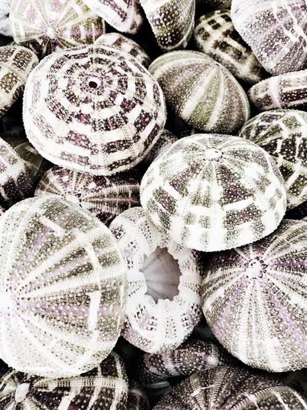 Sea urchin 1 coastal prints